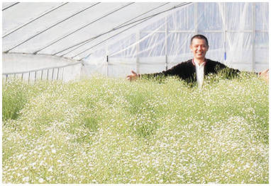 ロマンチックかすみ草 栽培風景