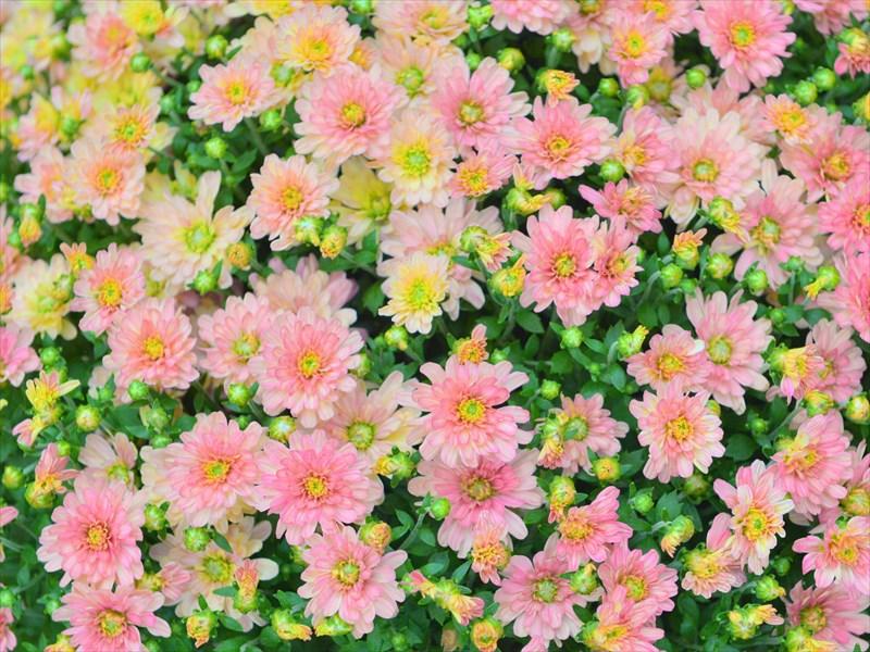 11月菊の季節